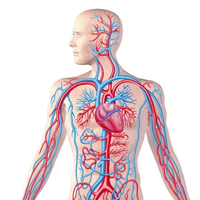 Dolaşım sistemi, damar ağı, kırmızı ve mavi damarlar, andülasyon, hhp