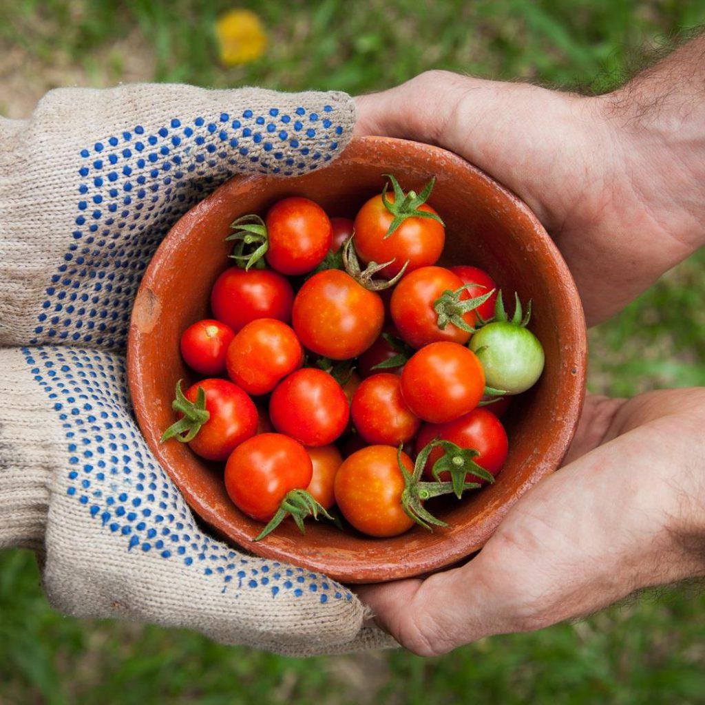 Domates, tarla domatesi, domates yetiştirme