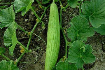acur, acur salatalık, salatalığa benzeyen sebze, hıyara benzeyen bitki