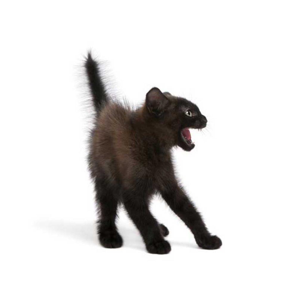 öfkeli kedi