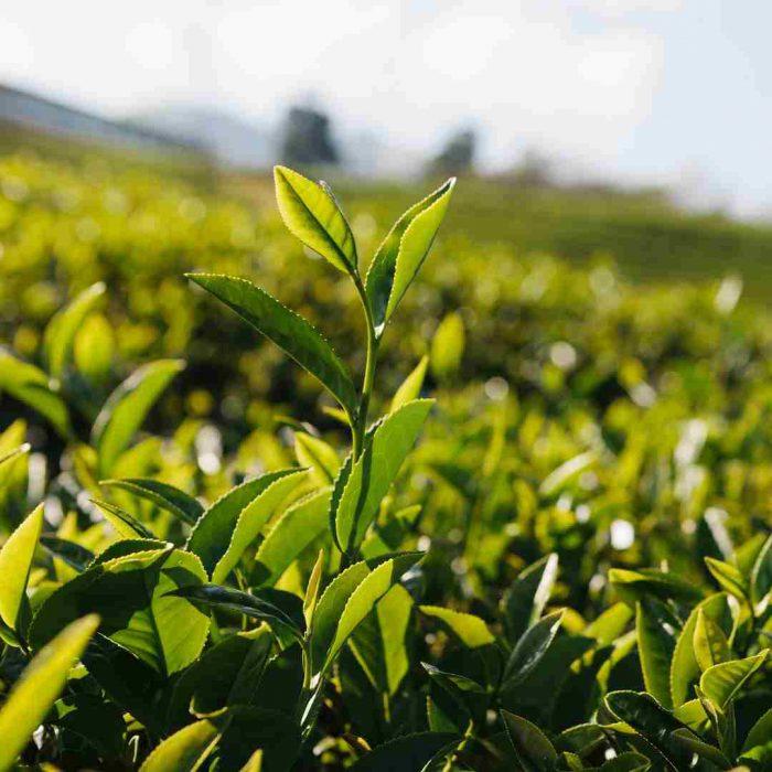 Yeşil çay, kateşin, yeşilçay bitkisi
