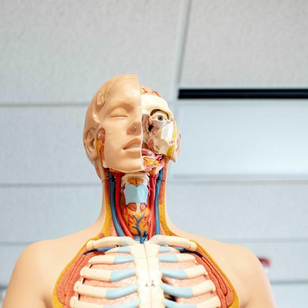 anatomi, maket, damar, dolaşım
