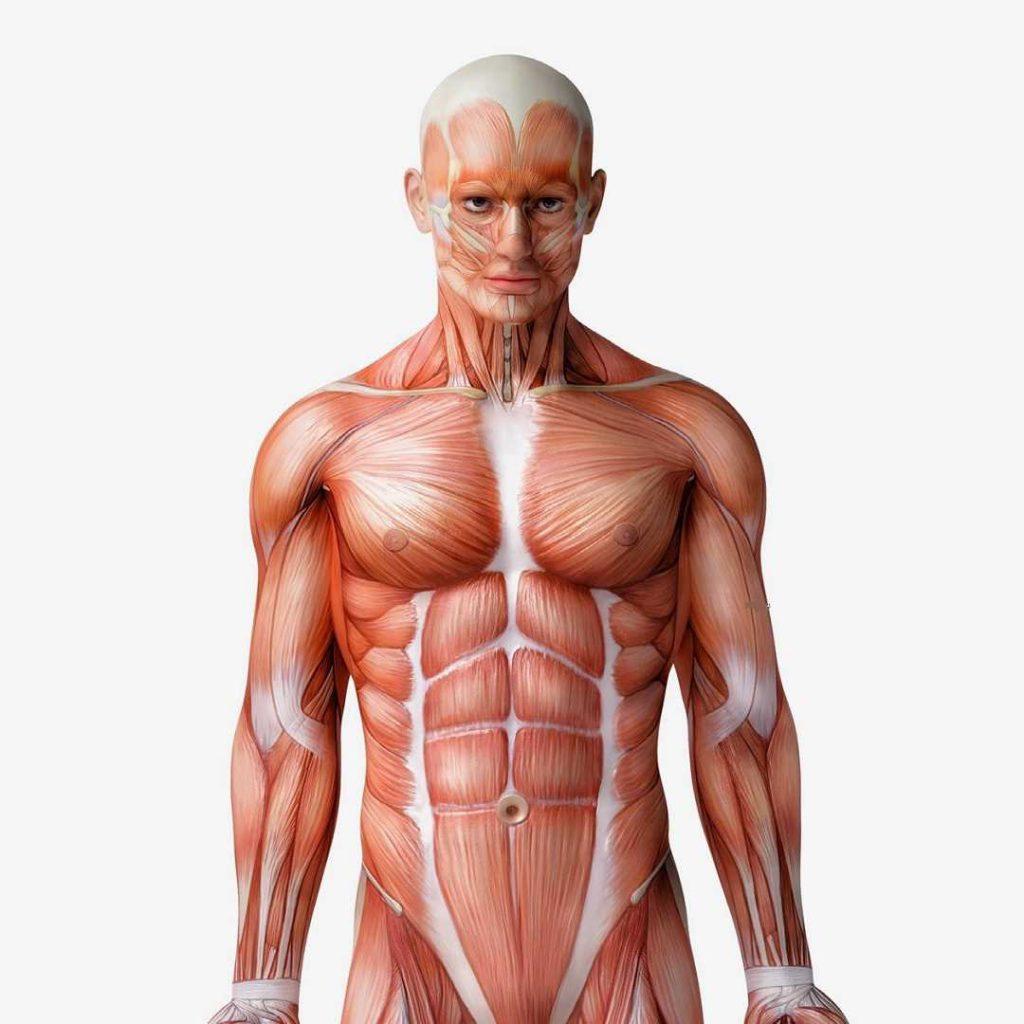 insan anatomisi, human anatomy