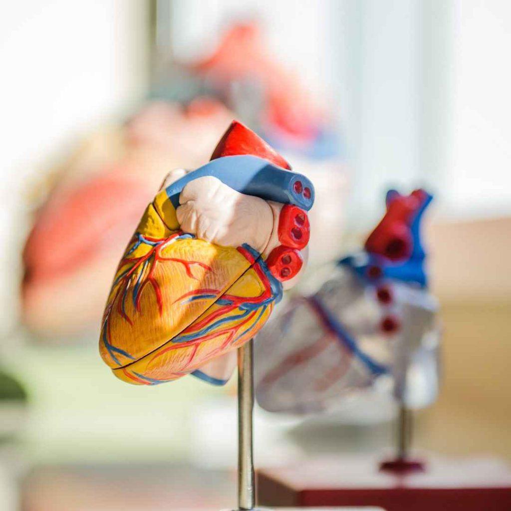 kalp, kardiyovasküler sistem, kalp-damar sistemi, kalp maketi