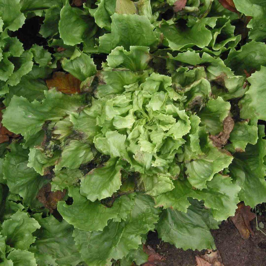 Cichorium endivia, hindiba, Cichorium endivia, hindibağ