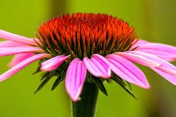 ekinezya, bağışıklık güçlendiren bitki