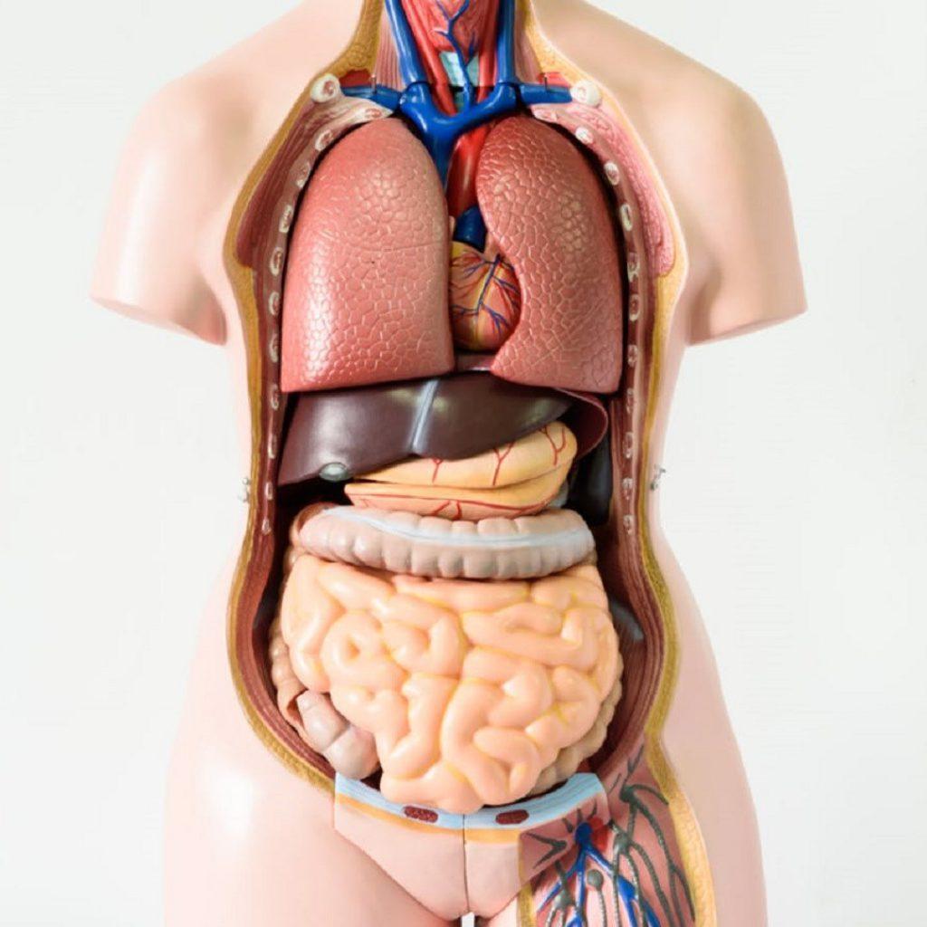 insan vücudu, anatomi, maket, organlar