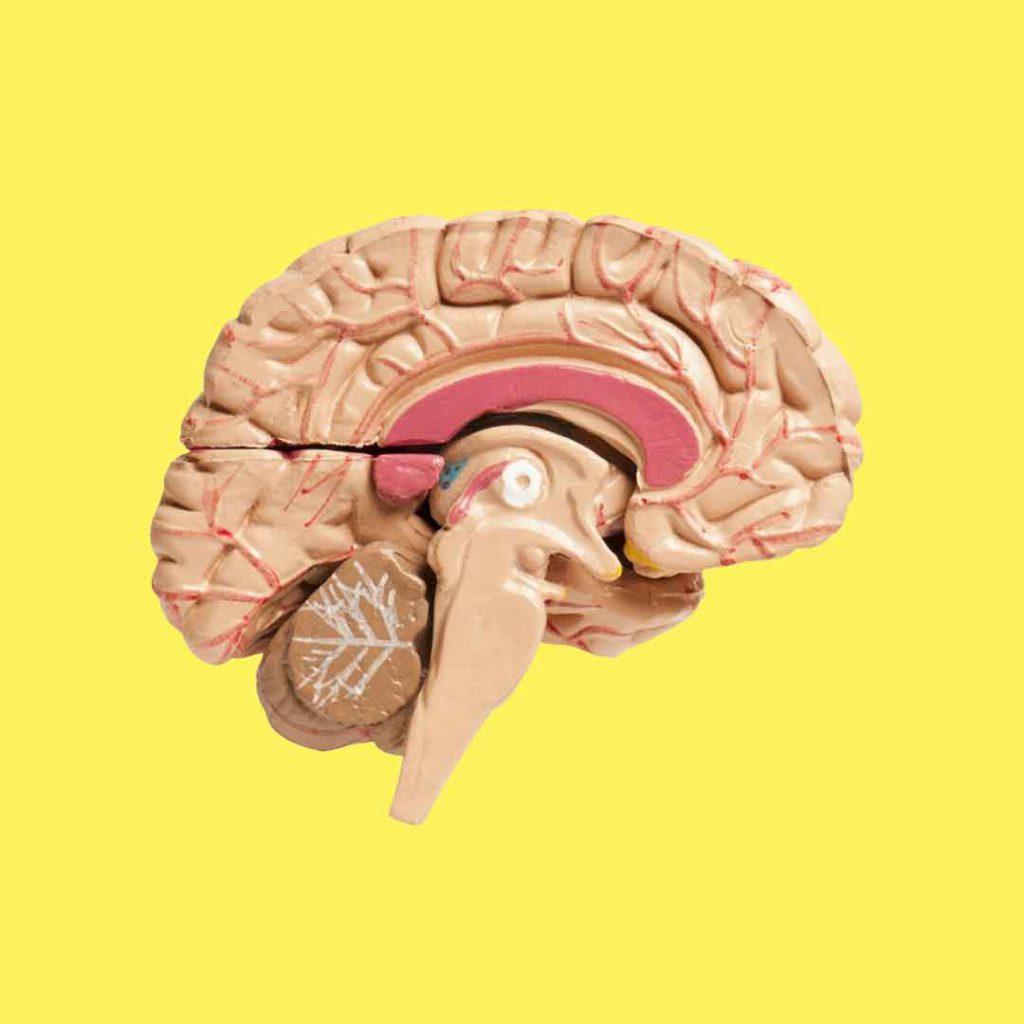 beyin, sağ beyin, sol beyin, korpus kallosum