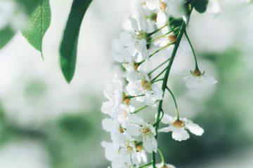 mayıs ayı, çiçek, bahar, nisan, tomurcuk, beyaz