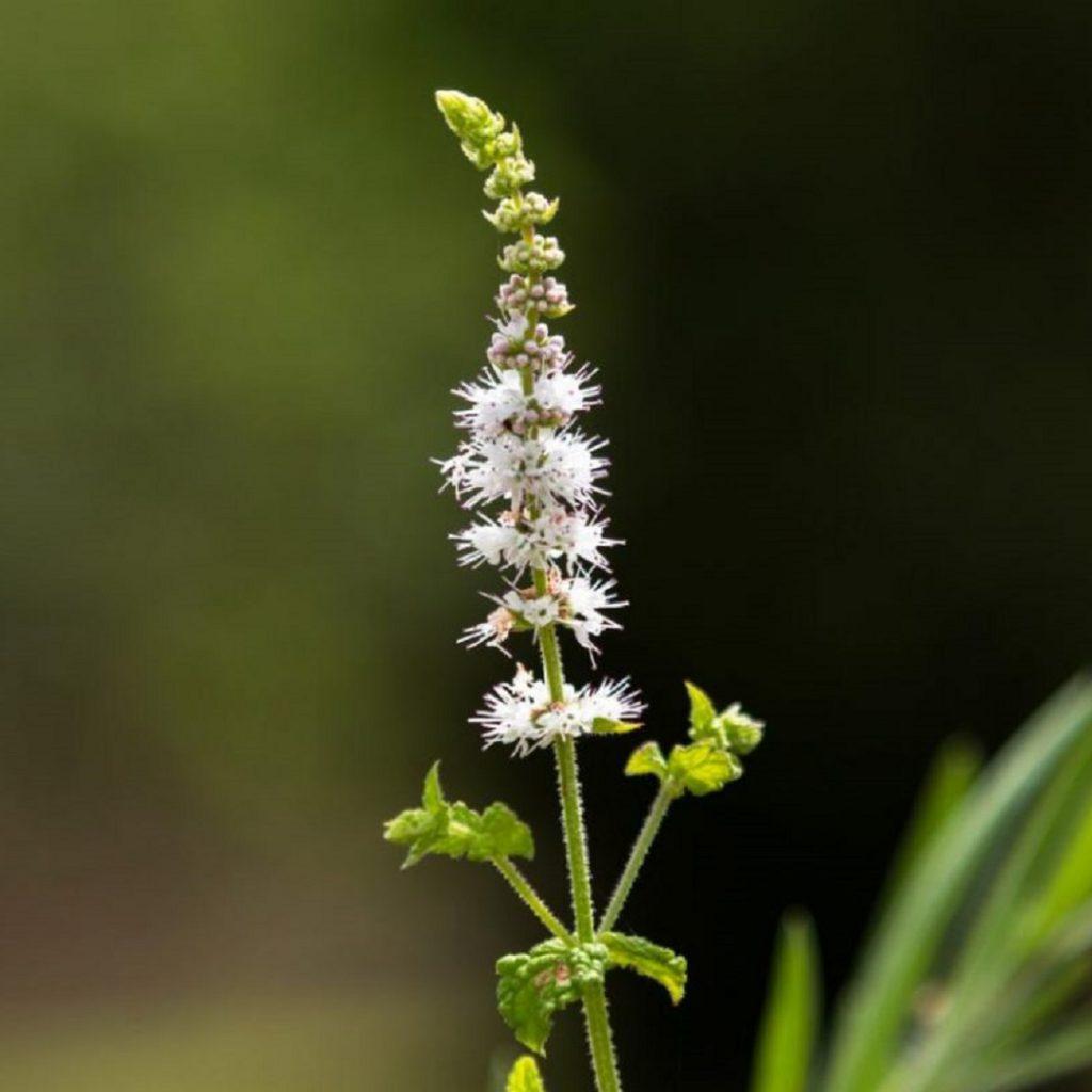 menopoz bitkisi, Black cohosh, karayılan otu, siyah yılankökü