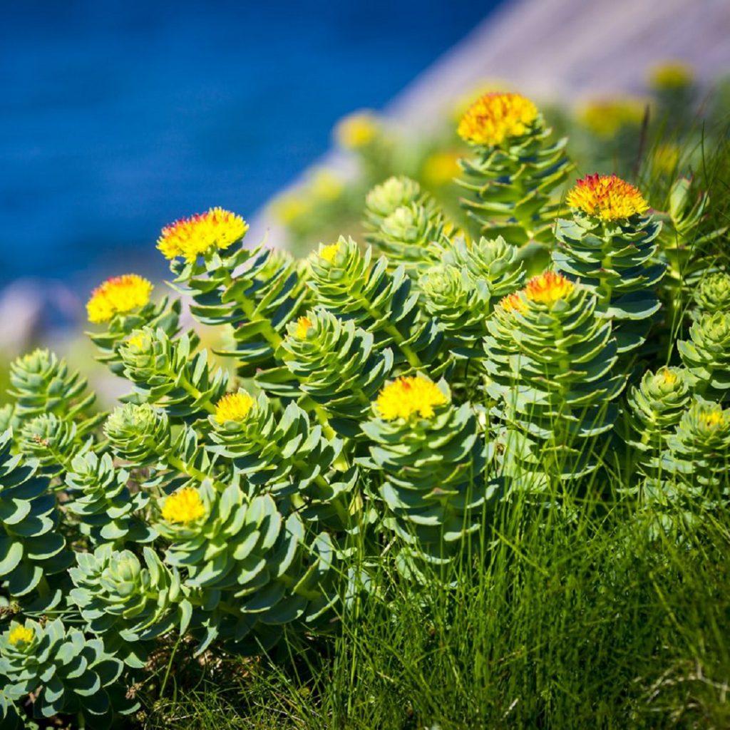 Rhodiola, rhodiola rosea, altınkök, altın kök, sarı gül
