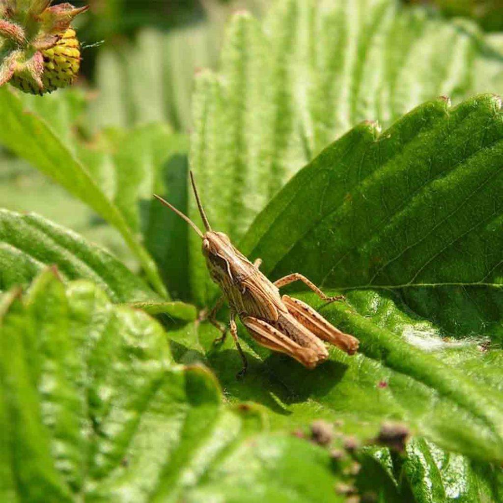 böcek, çekirge, yaprak, iğrenme, tiksinme, böcek fobisi