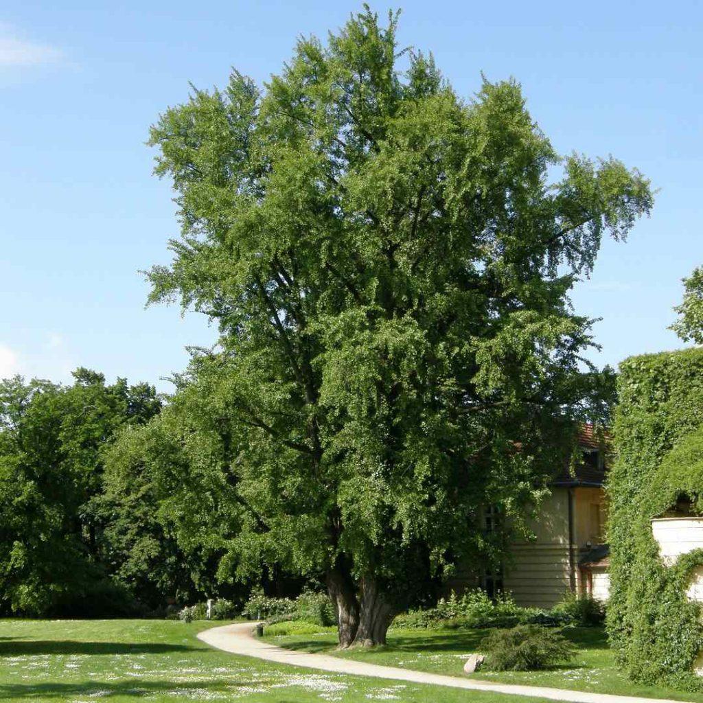 ginkgo biloba, çinko biloba ağacı