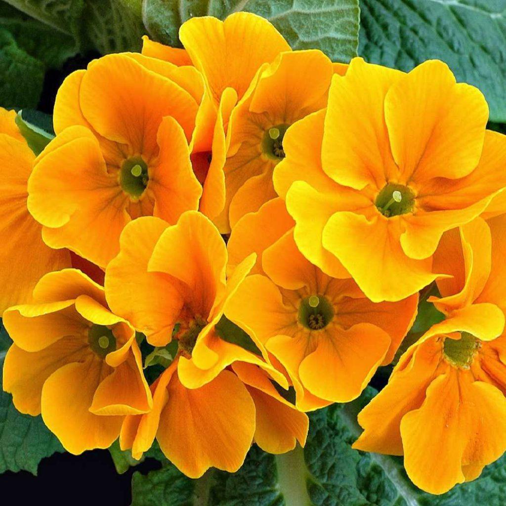 çuha çiçeği ile evening primrose oil farkı