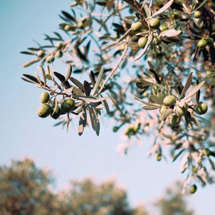 zeytin, zeytin meyvesi, zeytin ağacı