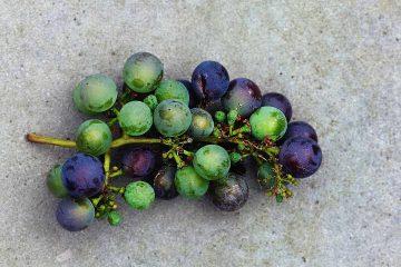 üzüm, salkım, grape