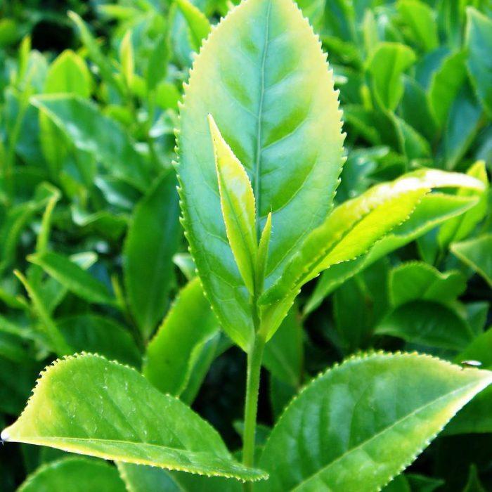 Çay bitkisi, Camellia sinensis, tschei