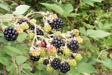 böğürtlen, blackberry, black berry, kara beri, siyah beri, beriler, kırmızı meyveler