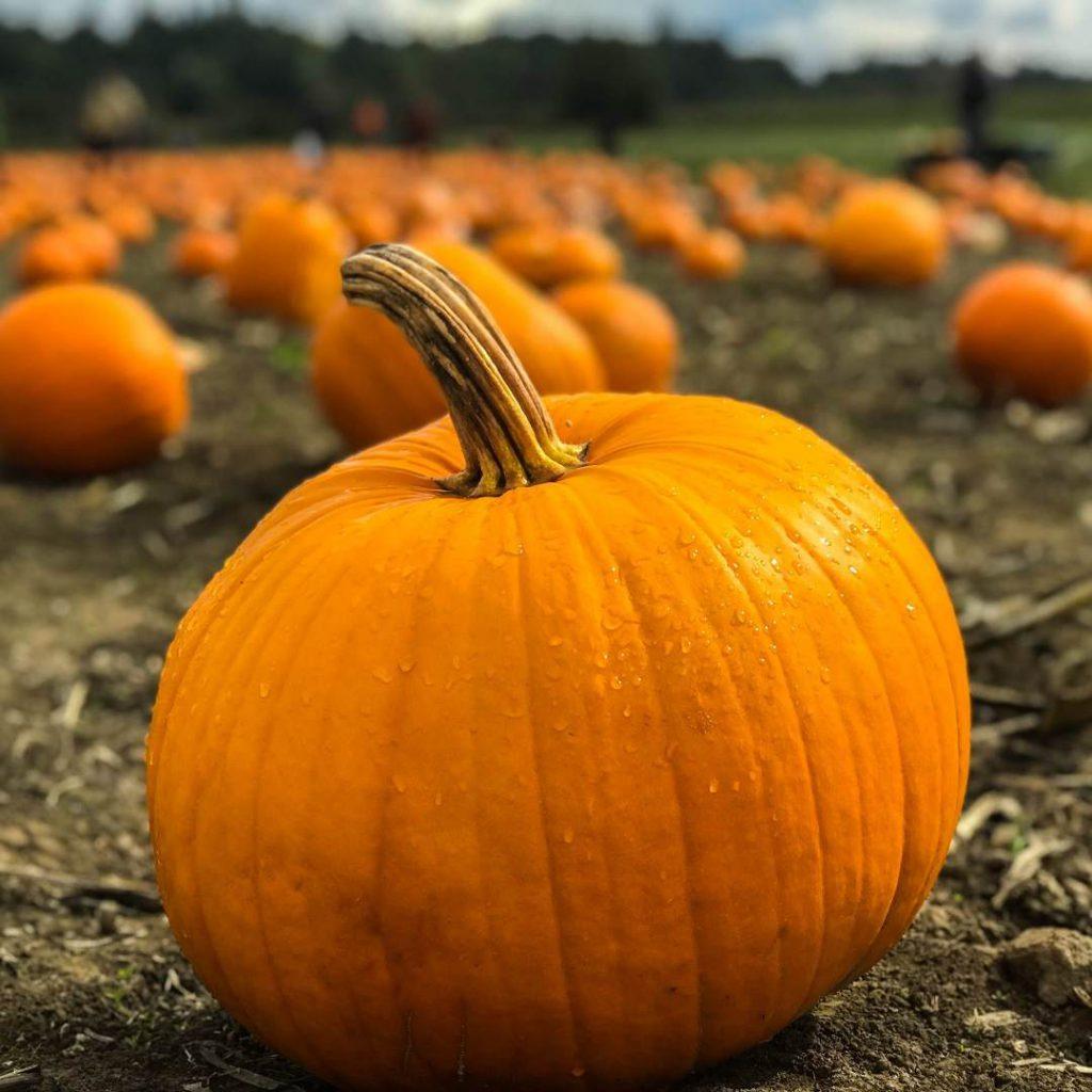 bal kabağı balkabağı pumpkin, sarı kabak