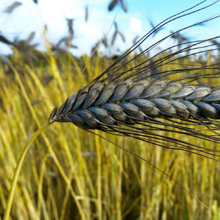 emmer, kavılca, kavulca buğdayı