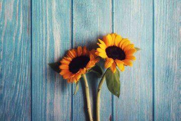 günebakan, gündöndü, ay çiçeği, ayçiçeği, sunflower