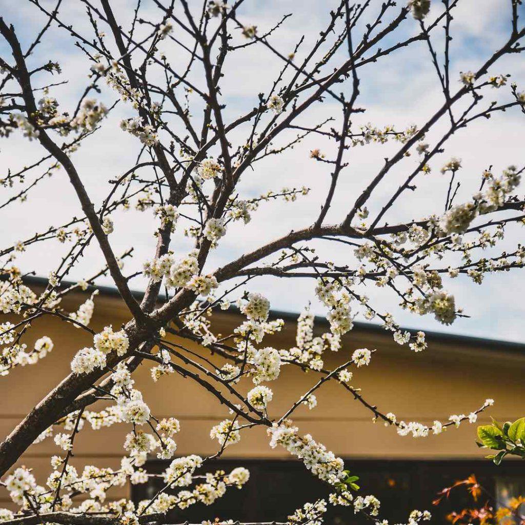 ıhlamur, tilia, tilya kürü, çiçek açmış ıhlamur ağacı
