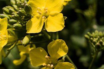 kolza, kanola, sarı çiçek