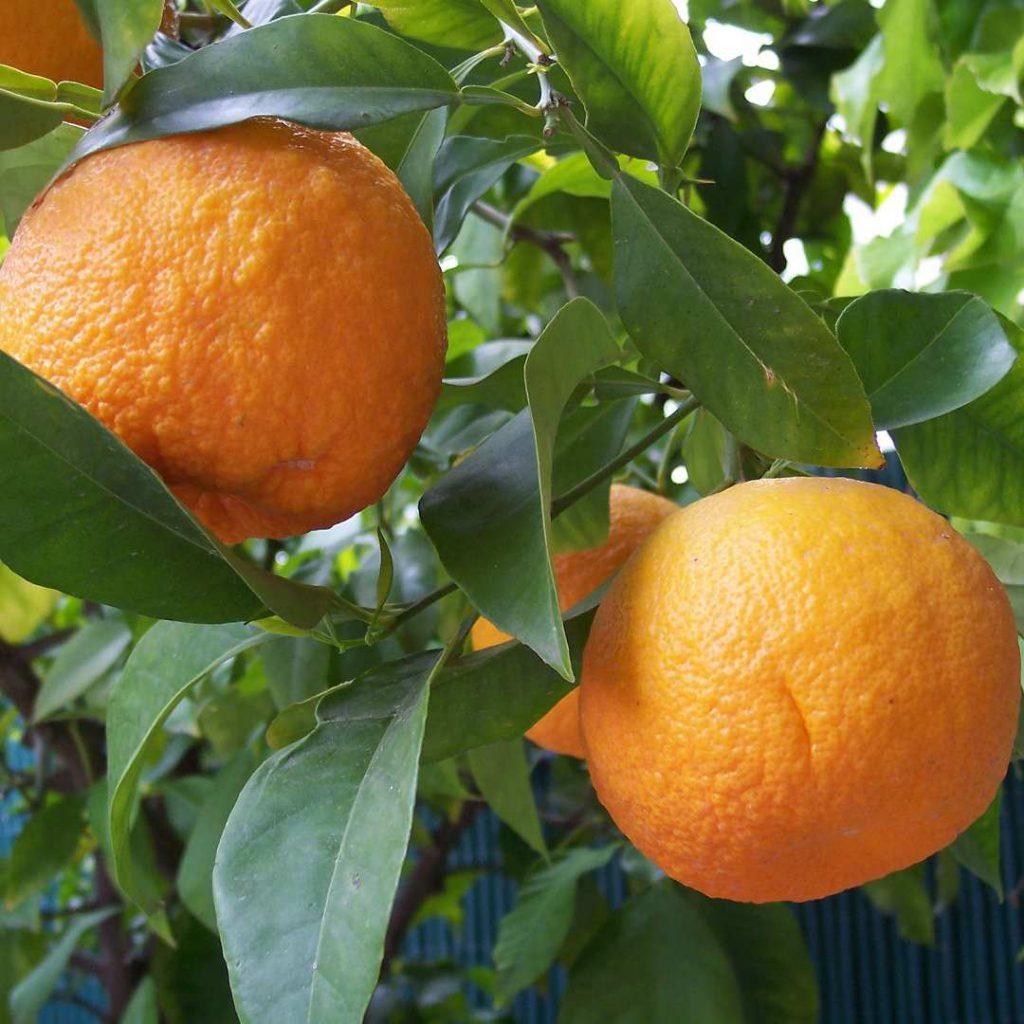 turunç, turunç meyvesi, oranj, turunçgiller, narenciye,