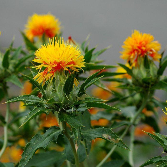 Carthamus tinctorius, aspir bitkisi, safflower (2)