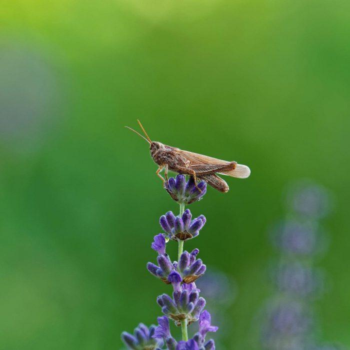 böcek, canlı, Lavandula angustifolia, lavanta, birki, mor, çiçek, yeşil