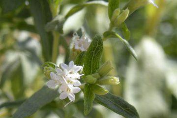 Stevia rebaudiana, şeker otu, bitkisi