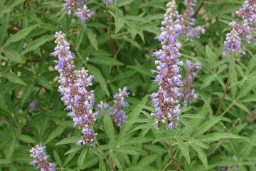 Vitex agnus-castus, hayıt tohumu, ruhban biberi, bitki