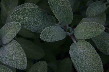 adaçayı, bitki, bitkisel, yeşil, sağlık, doğa