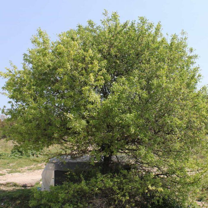 ahlat meyvesi, yaban armut, yemeni meyveler, yaban armudu, çörtük, ahlat ağacı, Pyrus elaeagnifolia-2