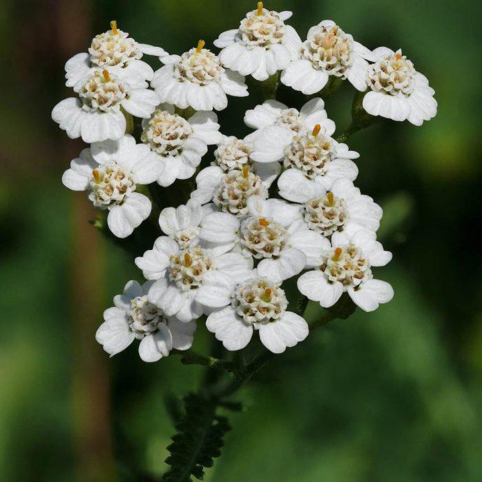 civanperçemi, çiçek, beyaz, bitki, ot