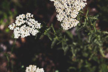 civanperçemi, bitkiler