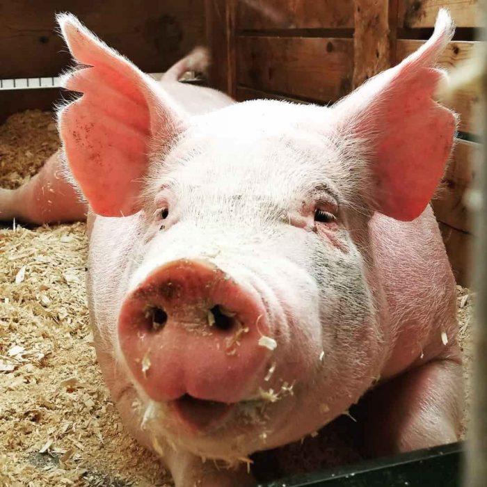 domuz, hayvan, pig, küçükbaş, tek tırnaklı, tek toynaklı