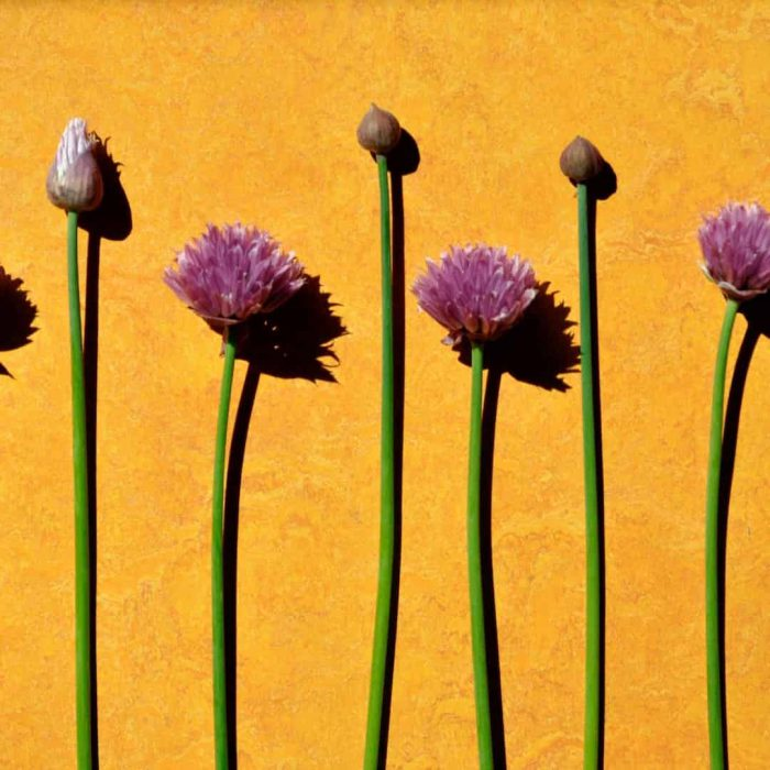 frenk soğanı, pembe çiçekli soğan, fransız soğanı, çiçek, besin