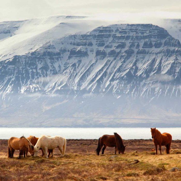 horse, at, at eti, tek tırnaklı, tek toynaklı