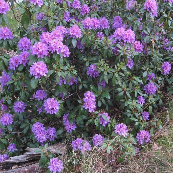 karadeniz orman gülü, mor çiçekli orman gülü, Rhododendron ponticum