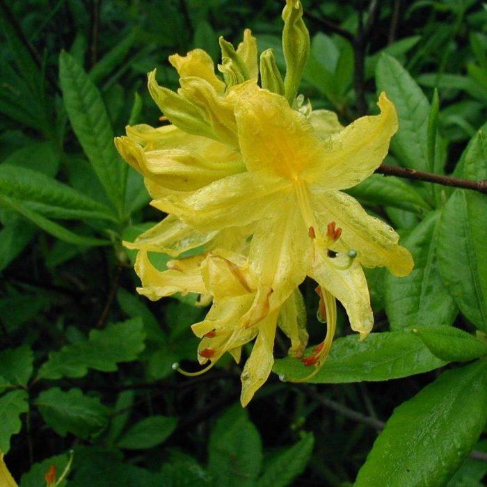 karadeniz orman gülü, sarı çiçekli orman gülü, Rhododendron luteum