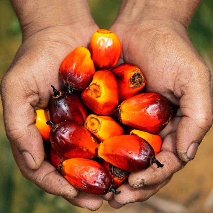 palm yağı meyvesi-2