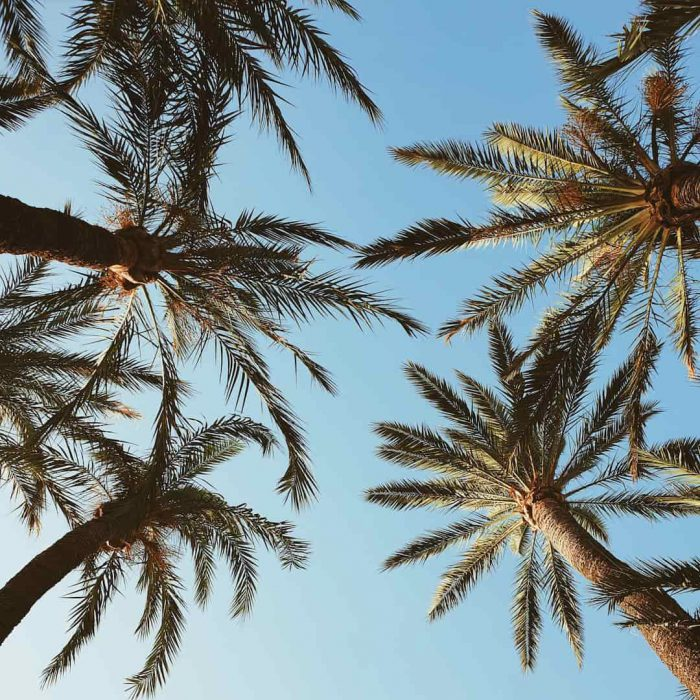 palmiye ağacı, palm