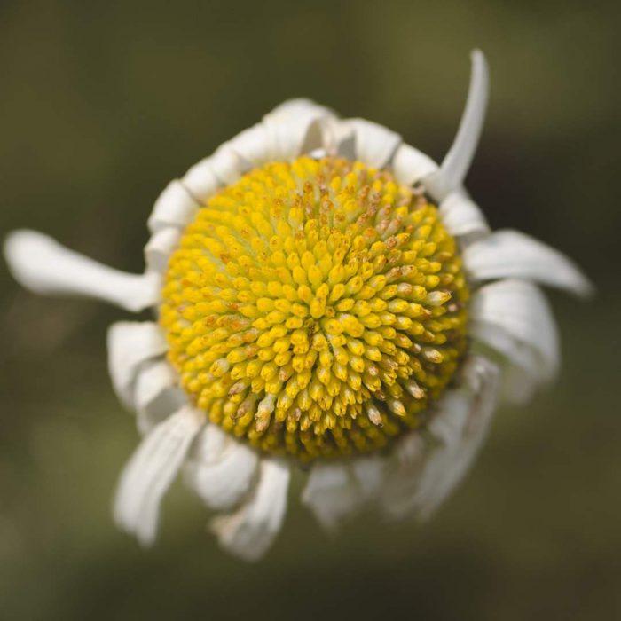 papatya, mayıs papatyası, bitki, çiçek, beyaz, sarı, yeşil