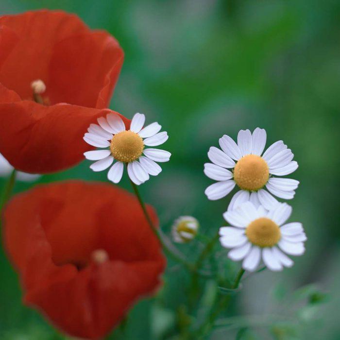 papatya, mayıs papatyası, bitki, çiçek, beyaz, sarı, yeşil, kırmızı