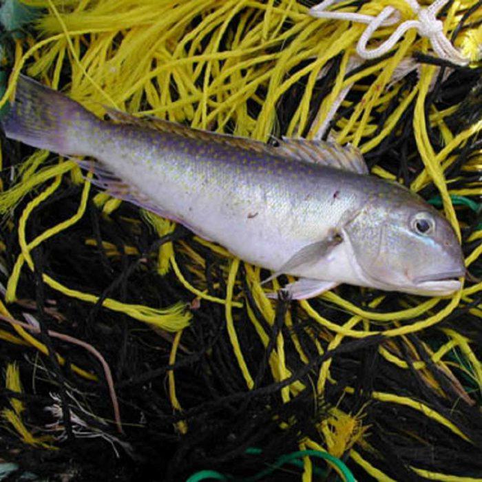 tilefish, tale balığı, kiremit balığı, kiremitbalığı
