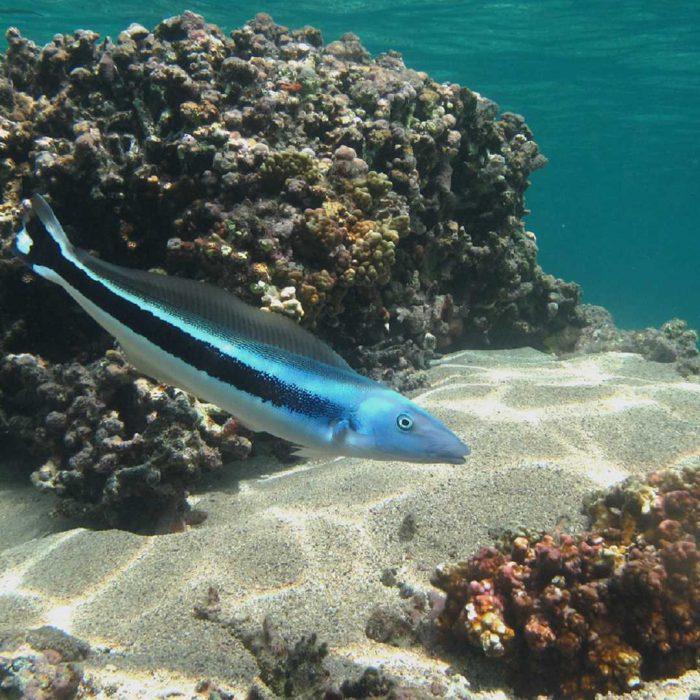 tilefish, tale balığı, kiremitbalığı, kiremit balığı