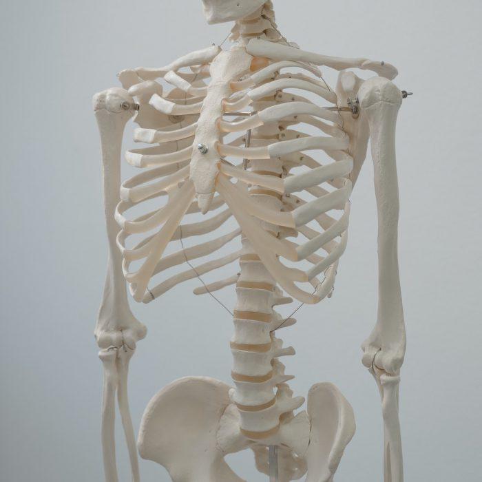 İskelet, kaburga, omurga, kemik