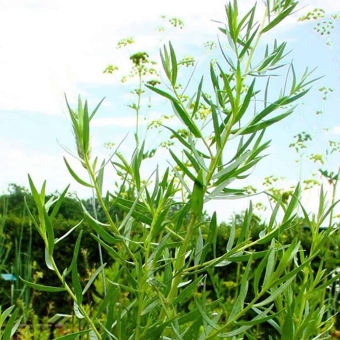 tarhun, tarhun yaprağı, yeşil sebze, ot, şifalı bitki,