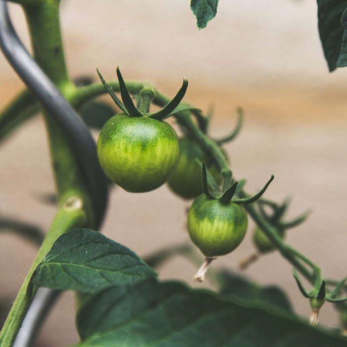 yeşil domates, ham sebze, dalından domates, yetişmekte olan meyve, sürdürülebilir yaşam, sürdürülebilir beslenme